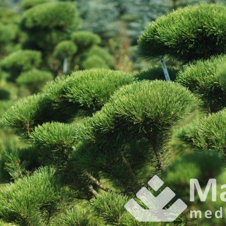 pinus_mugo_bonsai_niwaki_322