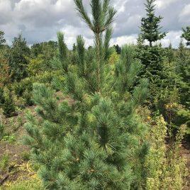 Pušis balkaninė (Pinus peuce)