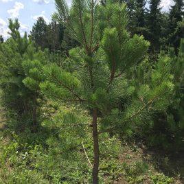 Pušis geltonoji (Pinus ponderosa)