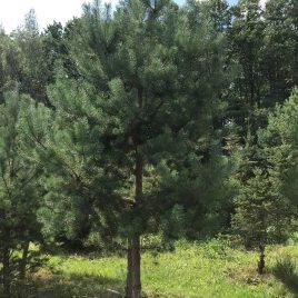 Pušis paprastoji (Pinus sylvestris)