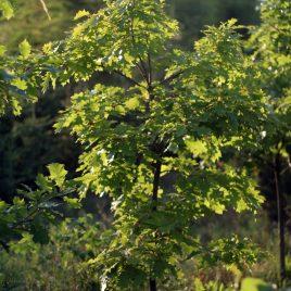 Ąžuolas raudonasis (Quercus rubra)