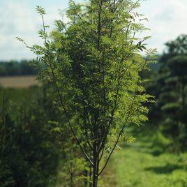 Paprastasis šermukšnis (Sorbus aucuparia)