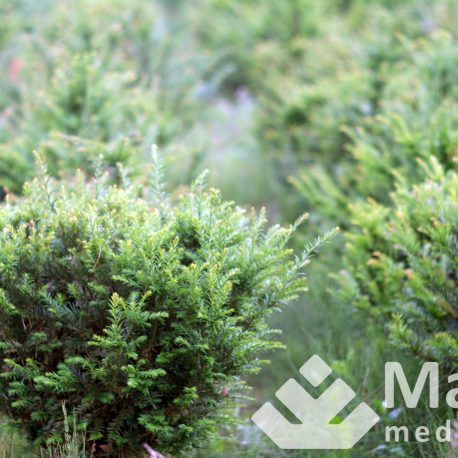 taxus_baccata_1