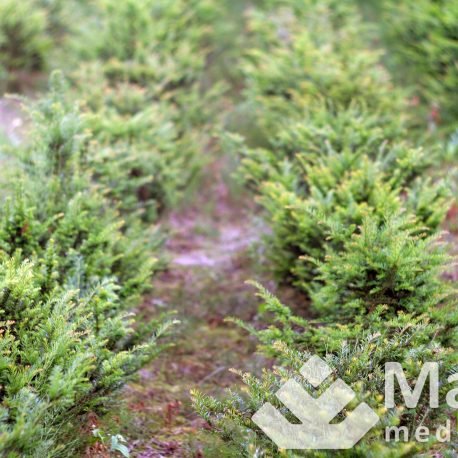 taxus_baccata_2