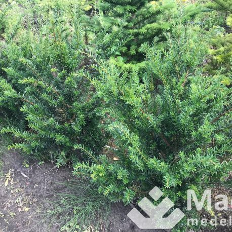 taxus_baccata_5