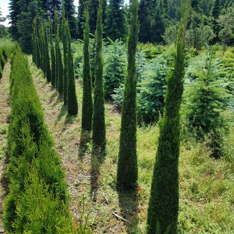 thuja_occidentalis_toskana_1