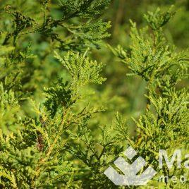 Tujenis kapoklinis (Thujopsis dolobrata)