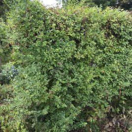 Skirpstas žemasis (Ulmus pumila)